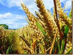 GM-cornfield